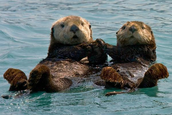 Sea Otters Hold Hands ...