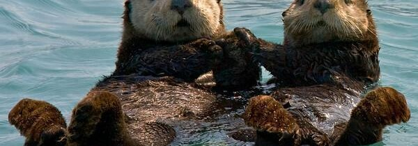 Sea Otters Hold Hands – Cutest Facts Ever